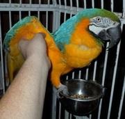 Эти сладкие ара имеют большой словарный запас и они любят петь. .
