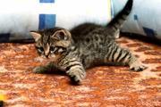 Продается БРИТАНСКИЙ котик
